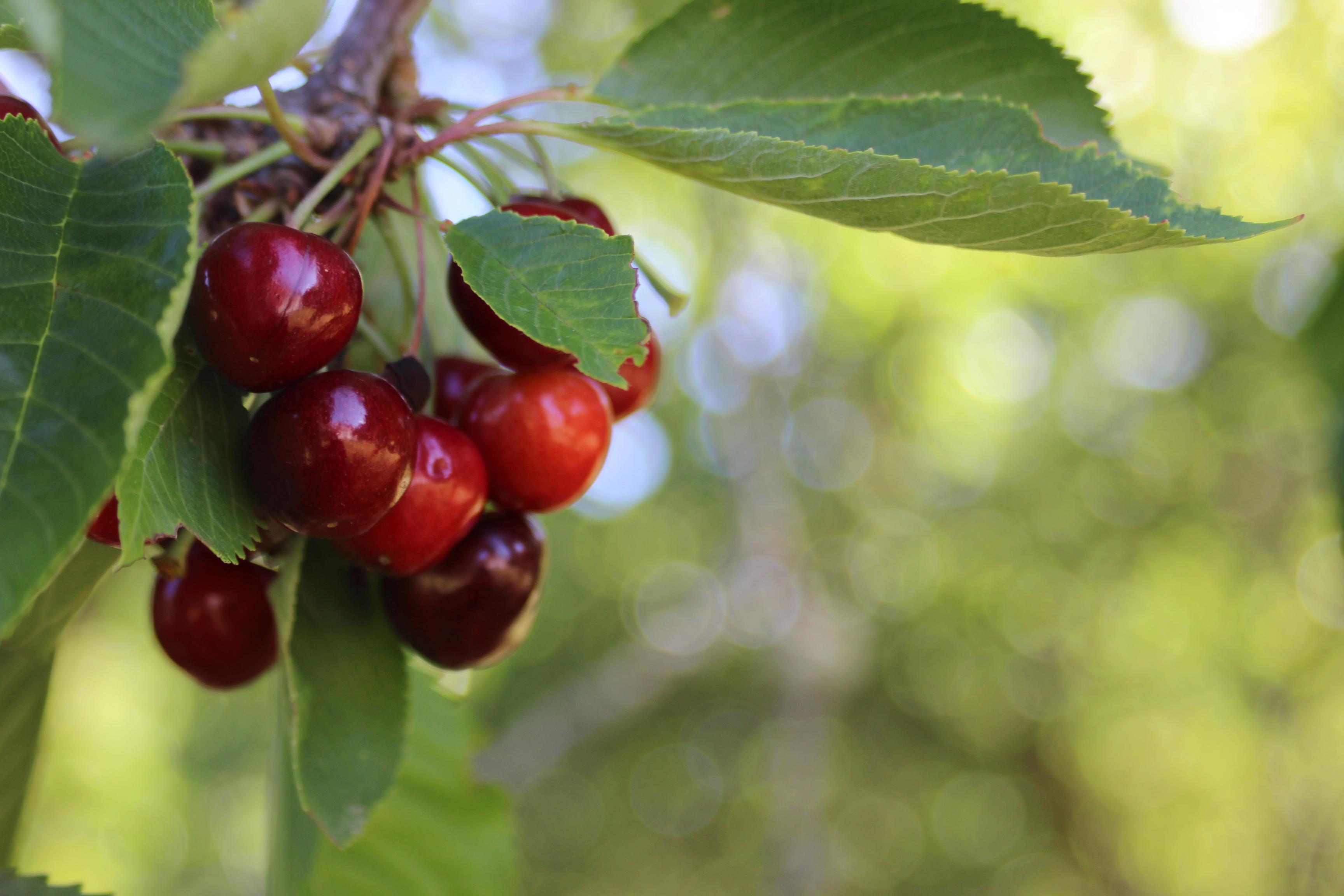 Cherry körsbär bigarrå självplock
