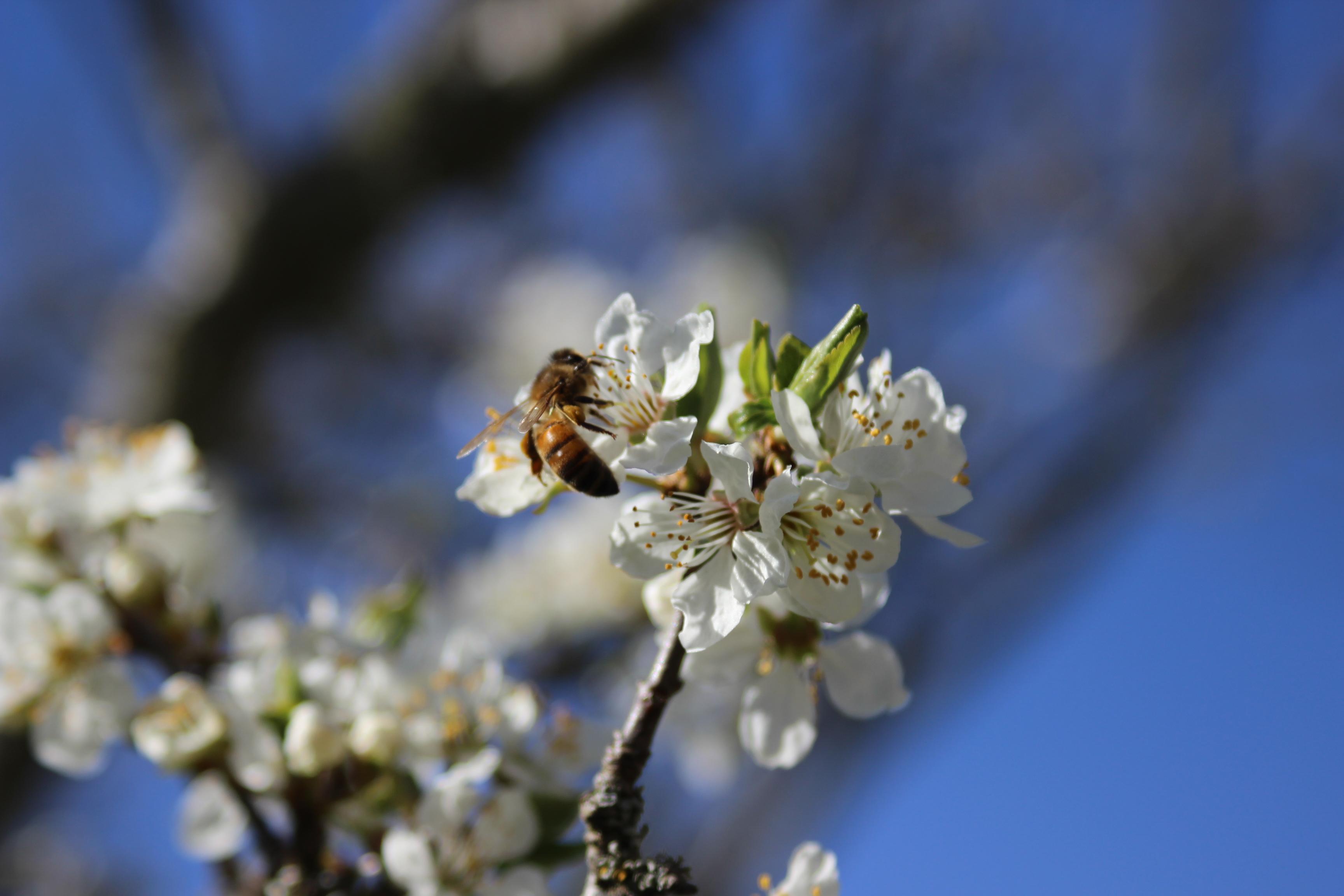 Det hela börjar på våren. Träden beskärs oh så är det bara att vänta på blommningen och låta bin göra sitt jobb.