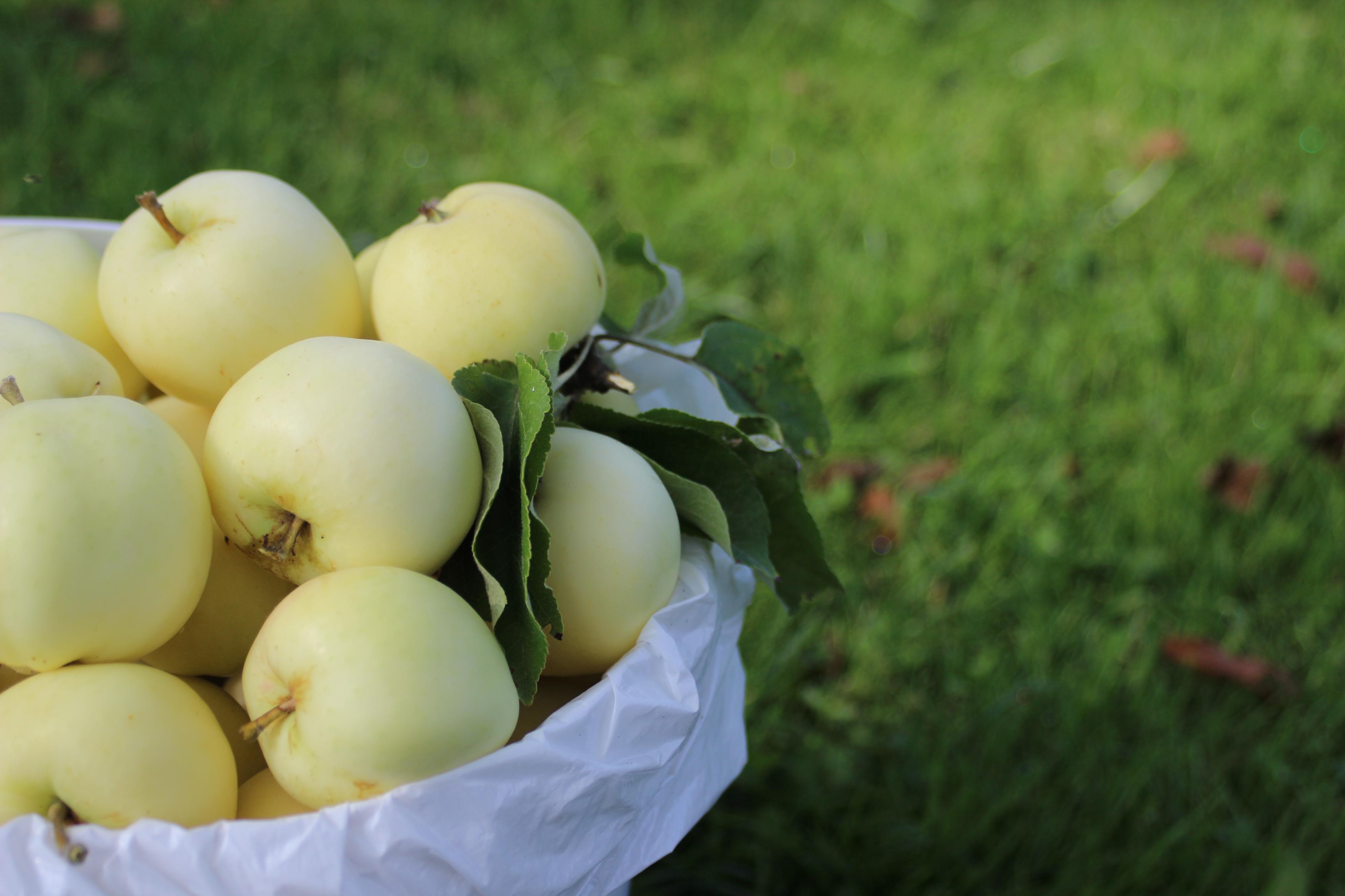 Efter flera månaders väntande är det dags att plocka äpplen.